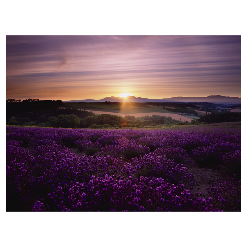 Lavender Sunset Canvas Wall Art   32W X 24H In.
